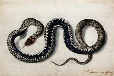 A Grass Snake, C.1675-1700--Giclee Print