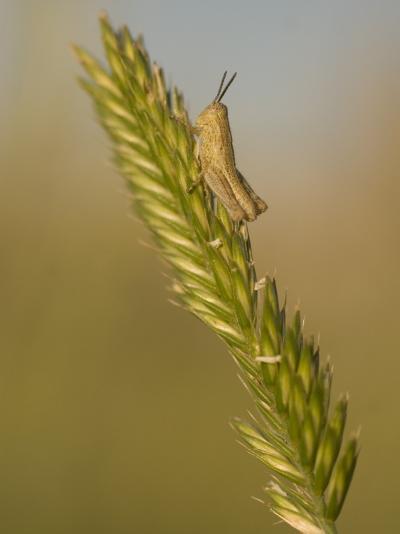 A Grasshopper Sits on Grass in the Little Missouri National Grasslands-Phil Schermeister-Photographic Print