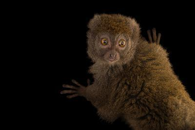 A Gray Bamboo Lemur, Hapalemur Griseus Griseus, at the Duke Lemur Center-Joel Sartore-Photographic Print