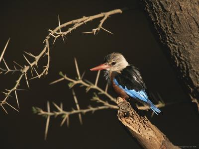 A Gray-Headed Kingfisher Perched on a Tree Branch-Roy Toft-Photographic Print