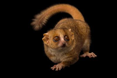 A Gray Mouse Lemur, Microcebus Murinus, at the Duke Lemur Center-Joel Sartore-Photographic Print