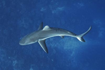 A Gray Reef Shark Patrols in the Pristine Waters Off Millennium Atoll-Mauricio Handler-Photographic Print