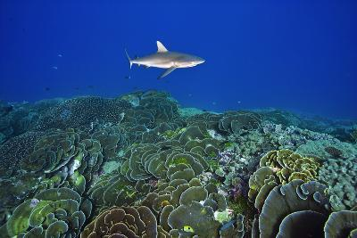 A Gray Reef Shark Patrols over a Coral Reef in Pristine Waters Off Millennium Atoll-Mauricio Handler-Photographic Print
