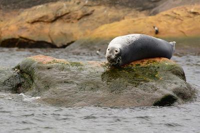 A Gray Seal, Halichoerus Grypus, Basking on a Rock Off the Shore of Bird Island-Darlyne A^ Murawski-Photographic Print
