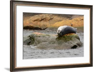 A Gray Seal, Halichoerus Grypus, Basking on a Rock Off the Shore of Bird Island-Darlyne A. Murawski-Framed Photographic Print
