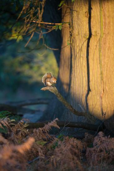A Gray Squirrel Feeds in the Autumn Foliage of Richmond Park-Alex Saberi-Photographic Print