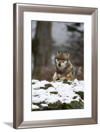 A Gray Wolf, Canis Lupus, Resting on a Snow-Covered Mossy Boulder-Sergio Pitamitz-Framed Photographic Print