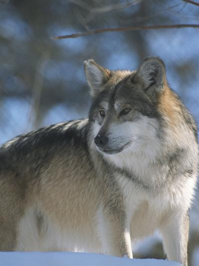 A Gray Wolf on a Sunny Winter Day-Taylor S^ Kennedy-Photographic Print