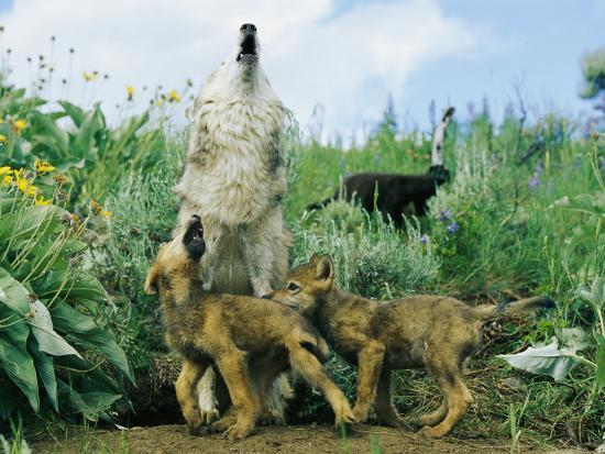 A Gray Wolf Teaches Her Young Pups to Howl-Norbert Rosing-Photographic Print