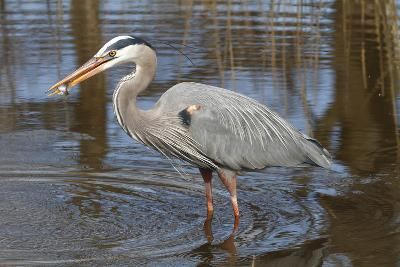 A Great Blue Heron, Ardea Herodias, Eating a Sunfish in a Marsh-George Grall-Photographic Print