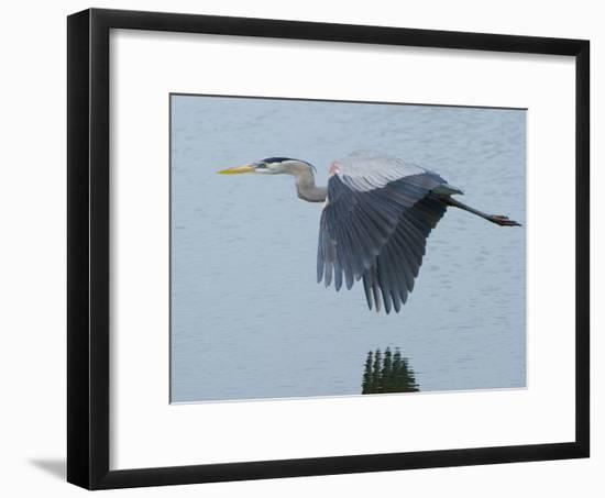 A Great Blue Heron, Ardea Herodias, Flying over a Pond in a Rookery-Paul Sutherland-Framed Photographic Print