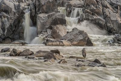 A Great Blue Heron, Ardea Herodias, on a Rock in the Swift Moving Waters of Great Falls-Irene Owsley-Photographic Print
