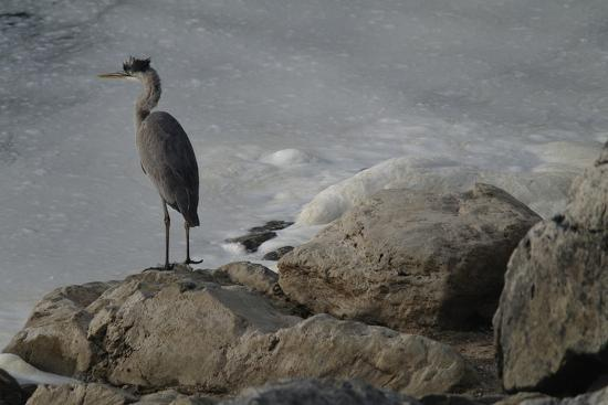 A Great Blue Heron, Ardea Herodias, on the Bank of the Potomac River-Tyrone Turner-Photographic Print