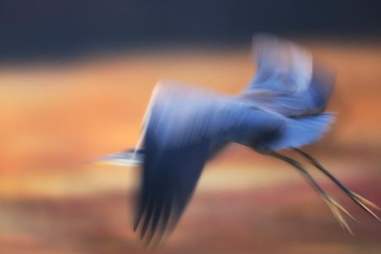 A Great Blue Heron, Ardea Herodias, Taking Flight at Sunset-Robbie George-Photographic Print