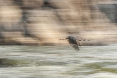 A Great Blue Heron in Flight-Irene Owsley-Photographic Print