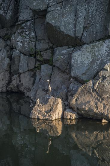 A Great Blue Heron on a Rock in the Potomac River-Irene Owsley-Photographic Print