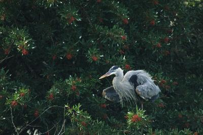 A Great Blue Heron on Florida's Gulf Coast-Klaus Nigge-Photographic Print