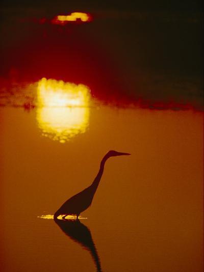 A Great Blue Heron Stalks an Evening Meal-Bates Littlehales-Photographic Print