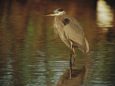 A Great Blue Heron Standing in Shallow Water-Joel Sartore-Photographic Print