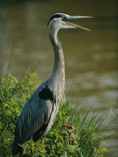 A Great Blue Heron Stands in a Marsh-George Grall-Photographic Print