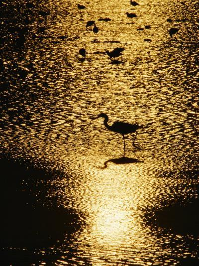 A Great Blue Heron Stands in Silhouette-Bates Littlehales-Photographic Print