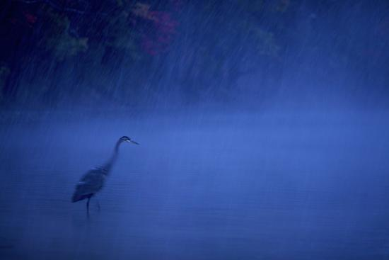 A great blue heron stands in Walden Pond as snow falls at dusk.-Tim Laman-Photographic Print
