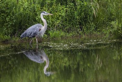 A Great Blue Heron Wades at the Edge of a Pond Near the Occoquan River in Northern Virginia-Kent Kobersteen-Photographic Print