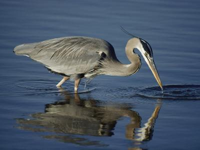 A Great Blue Heron Wades on Stilt-Like Legs While Foraging for Food-Bates Littlehales-Photographic Print
