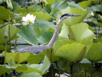 A Great Blue Heron Walks Through a Patch of Lotus Flowers--Photographic Print
