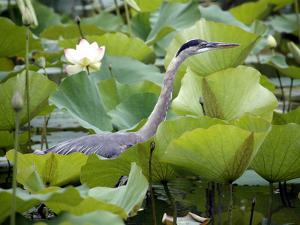 A Great Blue Heron Walks Through a Patch of Lotus Flowers