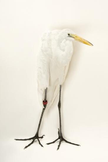A Great Egret, Ardea Alba, at the Caldwell Zoo-Joel Sartore-Photographic Print