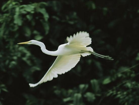 A Great Egret, Casmerodius Albus, Flies Gracefully-Tim Laman-Photographic Print