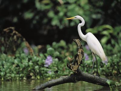 A Great Egret, Casmerodius Albus, Perches on Fallen Tree Limb-Tim Laman-Photographic Print