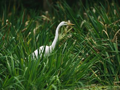 A Great Egret, Casmerodius Albus, Standing in Tall Grasses-Raymond Gehman-Photographic Print