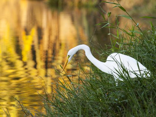 A Great Egret Fishing in Ibirapuera Park at Sunset-Alex Saberi-Photographic Print