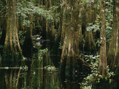 A Great Egret or Common Egret Stalks Fish in a Cypress Tree Swamp-Farrell Grehan-Photographic Print