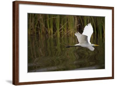 A Great Egret Skims the Surface of Black River-Michael Melford-Framed Photographic Print