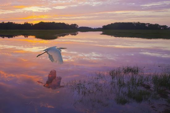 A Great Egret Skims the Water Surface in Early Morning Sunrise Light with Reflection-Richard Seeley-Photographic Print