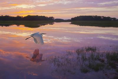 https://imgc.artprintimages.com/img/print/a-great-egret-skims-the-water-surface-in-early-morning-sunrise-light-with-reflection_u-l-q1bv39a0.jpg?p=0