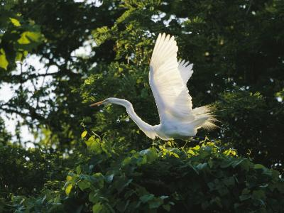 A Great Egret Spreads its Wings in its Vine-Covered Nest-Raymond Gehman-Photographic Print