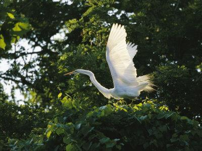 https://imgc.artprintimages.com/img/print/a-great-egret-spreads-its-wings-in-its-vine-covered-nest_u-l-p4bqrl0.jpg?p=0