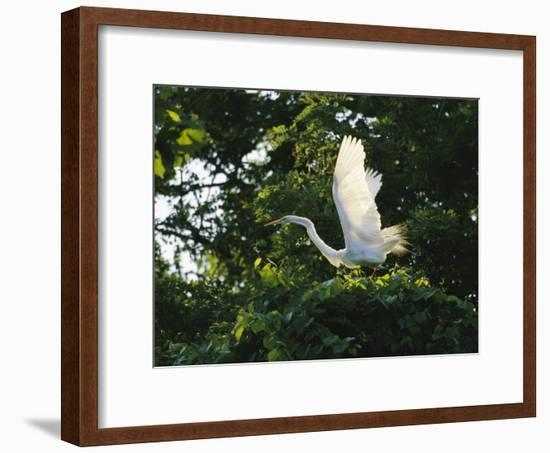 A Great Egret Spreads its Wings in its Vine-Covered Nest-Raymond Gehman-Framed Photographic Print