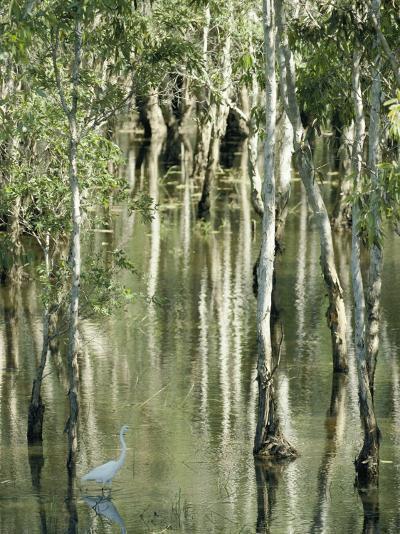 A Great Egret Wading Through a Swamp-Jason Edwards-Photographic Print
