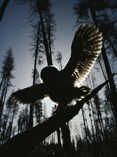 A Great Gray Owl, Five or Six Weeks Old, Spreads His Wings Wide-Michael S^ Quinton-Photographic Print