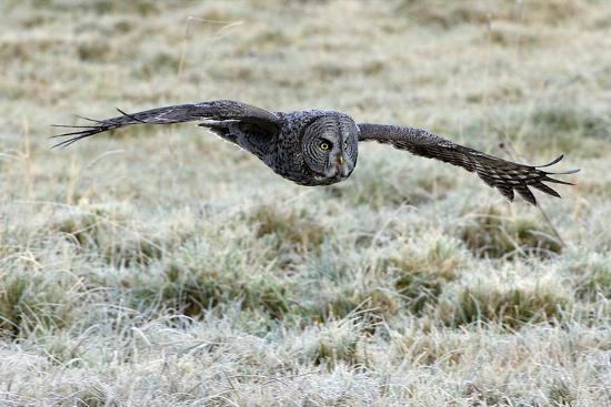 A Great Gray Owl Flies over a Field-Barrett Hedges-Photographic Print