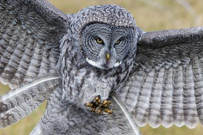 A Great Gray Owl Focuses in on its Next Meal-Barrett Hedges-Photographic Print