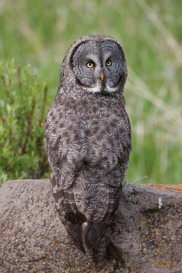 A Great Gray Owl Perches on a Log-Tom Murphy-Photographic Print