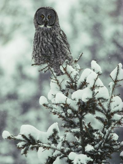 A Great Gray Owl Perches on a Snow-Covered Tree-Tom Murphy-Photographic Print