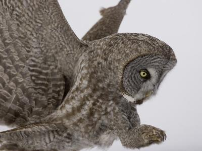 A Great Gray Owl Pouncing on its Prey, Strix Nebulosa, North America-Joe McDonald-Photographic Print