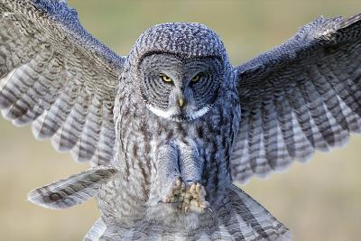 A Great Gray Owl Prepares to Strike-Barrett Hedges-Photographic Print